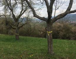"""Zwei Bäume, die im Rahmen des Projekts """"Gelbes Band"""" gekennzeichnet wurden"""