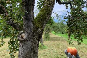 Obstbaum mit gelben Band