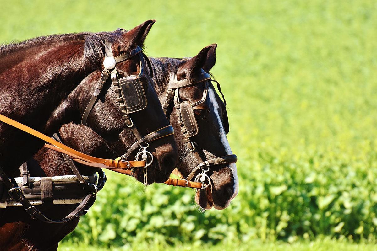 Zwei Pferde vor einer grünen Wiese