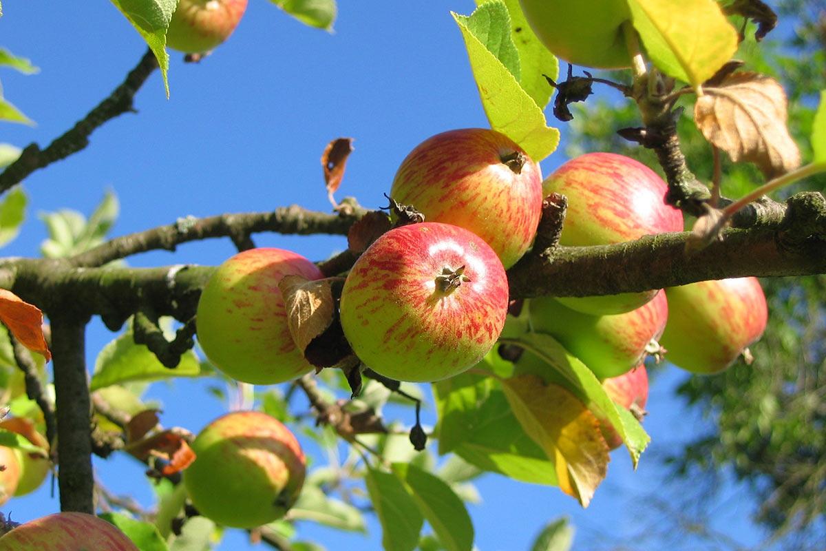 Äpfel hängen an einem Ast
