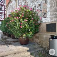 Artikel 30: Oleander