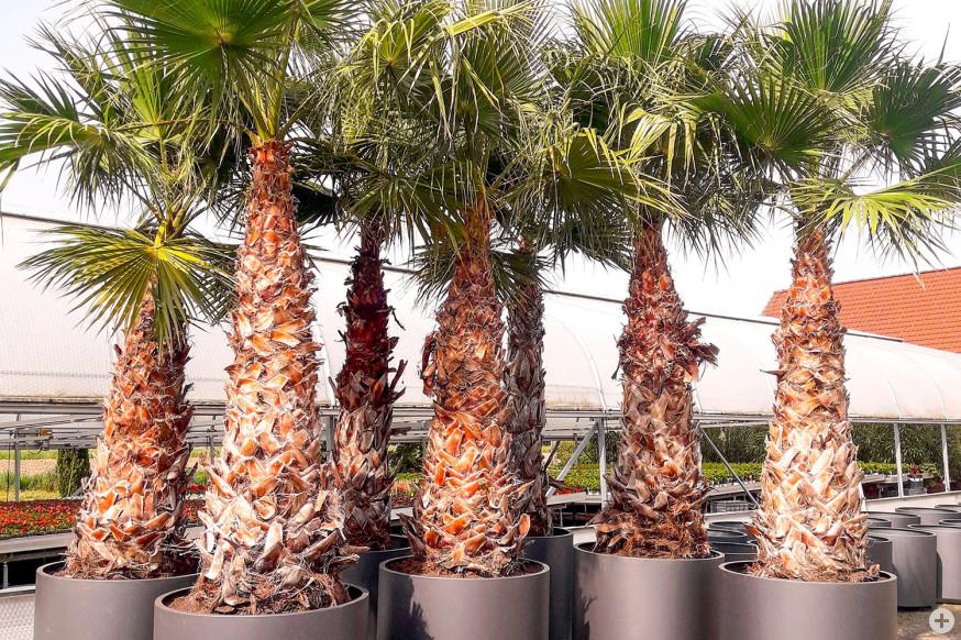 Die Palmen in ihren Töpfen.