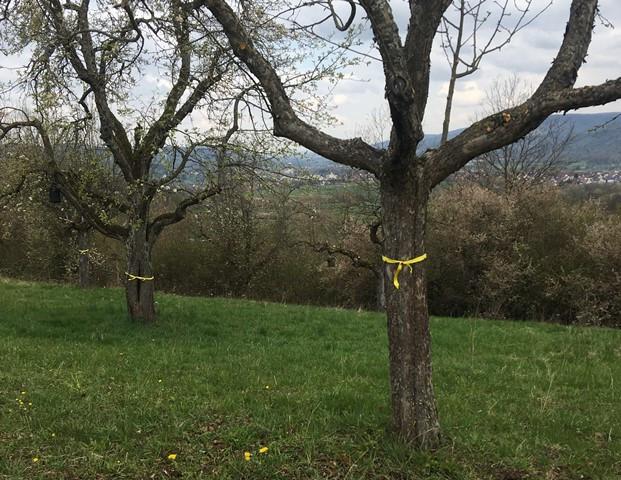 """Zwei Streuobstbäume, die im Rahmen des Projekts """"Gelbes Band"""" gekennzeichnet wurden"""