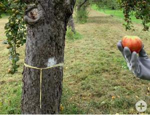 Bäume, die abgeerntet werden dürfen, sind mit einem gelben Band gekennzeichnet.